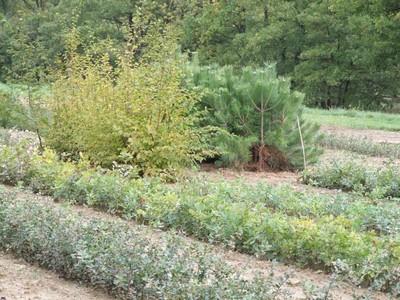 plant chêne truffier drôme